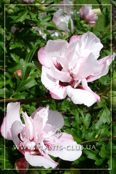p-31076-hibiscus-syriacus.jpg