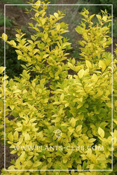 p-31130-ligustrum_ovalifolium_vicaryi.jpg