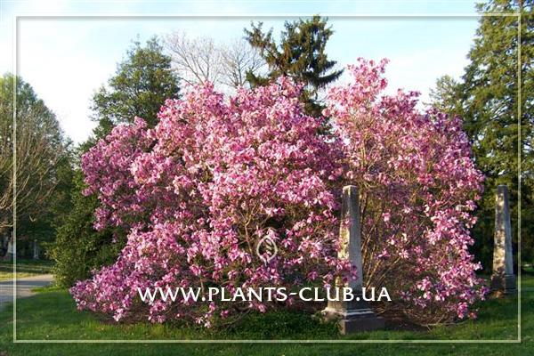 p-31174-magnolia-betty.jpg
