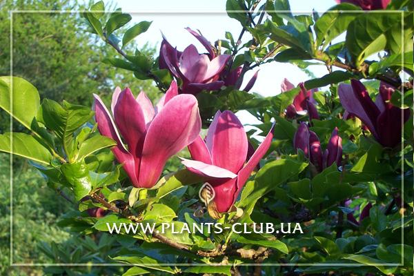 p-31181-magnolia_liliiflora_nigra-3.jpg