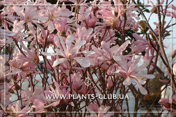 p-31193-magnolia_loebneri-leonard_messel.jpg