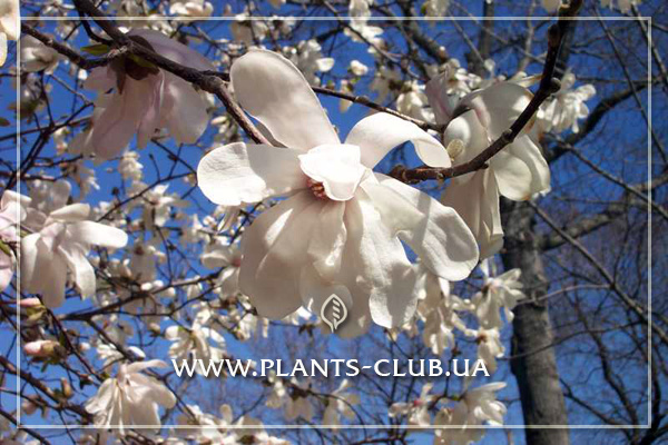 p-31203-magnolia-loebneri-merrill-4.jpg