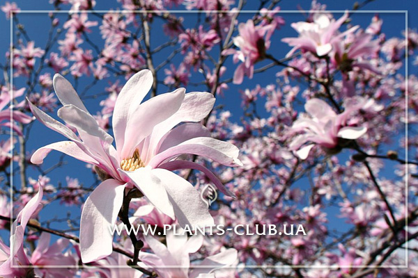 p-31212-magnolia-stellata-rosea-4.jpg