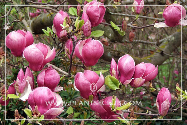 p-31220-magnolia--x-soulangeana-'lennej'.jpg