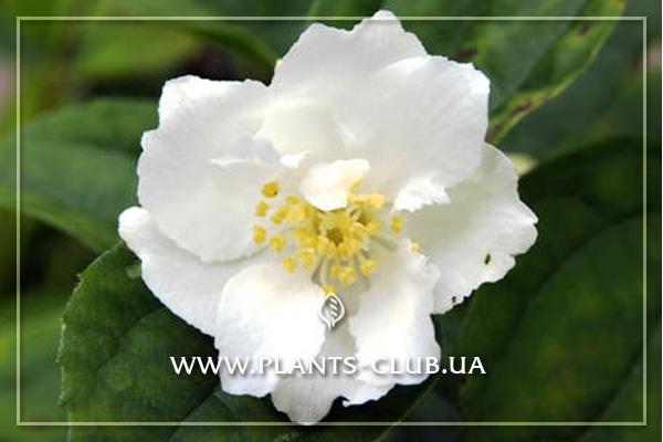 p-31261-philadelphus-coronarius-mont-blanc-2.jpg