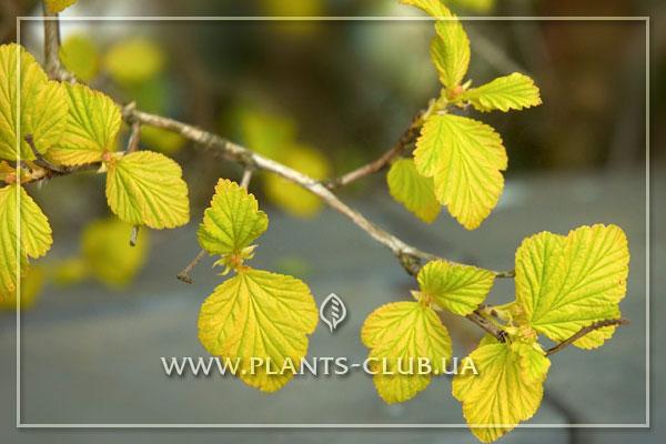 p-31266-physocarpus_opulifolius_lut.jpg