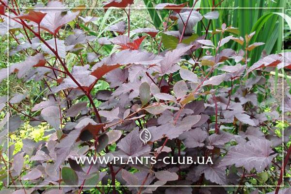 p-31271-physocarpus-purpureus.jpg