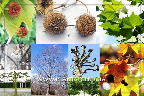p-31284-platanus_acerifolia_.jpg