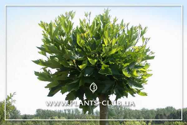 p-31292-platanus_acerifolia_alphens_globe12.jpg