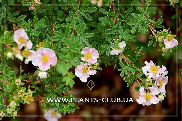 p-31302-potentilla-fruticosa-princess.jpg