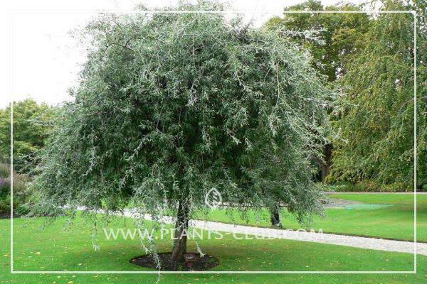 p-31377-pyrus_salicifolia_pendula.jpg