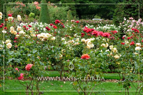 p-31389-rose-mix.jpg