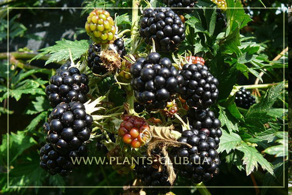 p-31463-rubus-fruticosus.jpg