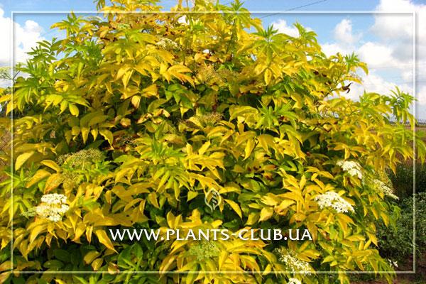 p-31486-sambucus-nigra-'aurea'.jpg