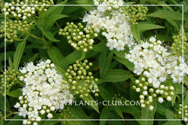 p-31507-spiraea-japonica-albiflora.jpg