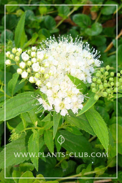 p-31507-spiraea_japonica_albiflora.jpg