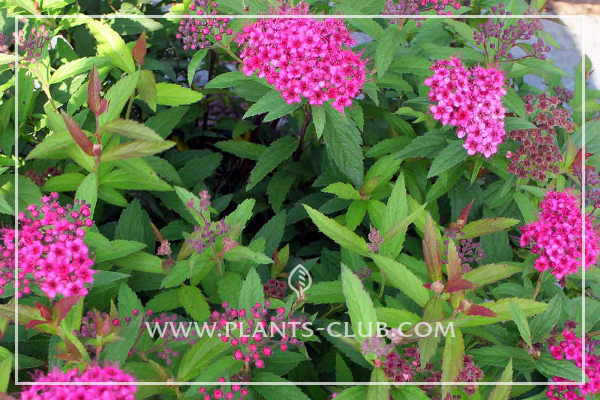 p-31512-spiraea_japonica_anthony-waterer.jpg