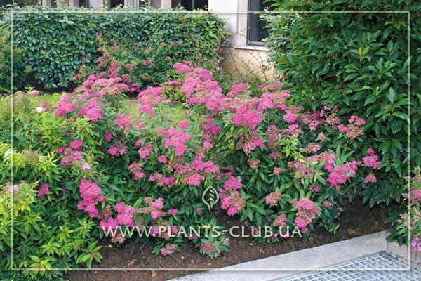 p-31519-spiraea-japonica-dart-s-red.jpg
