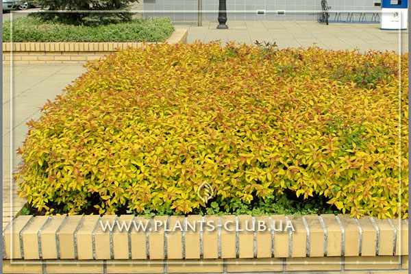 p-31526-spiraea-japonica-'goldflame.jpg