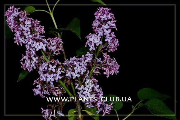 p-31546-syringa-vulgaris.jpg