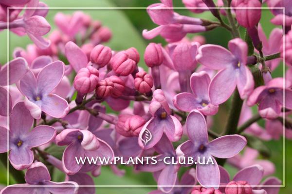 p-31550-syringa-vulgaris-massena-2.jpg