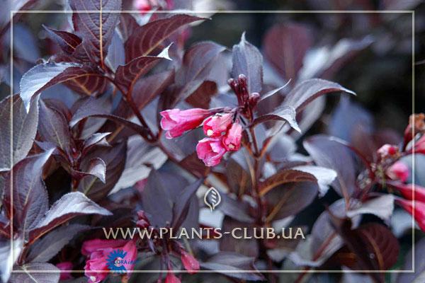 p-31572-weigela-florida-'alexandra'.jpg