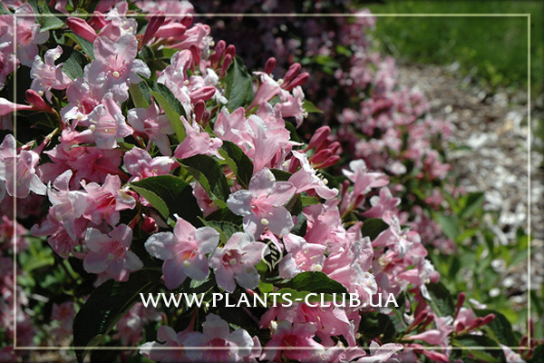 p-31584-weigela-florida-boskoop-glory.jpg