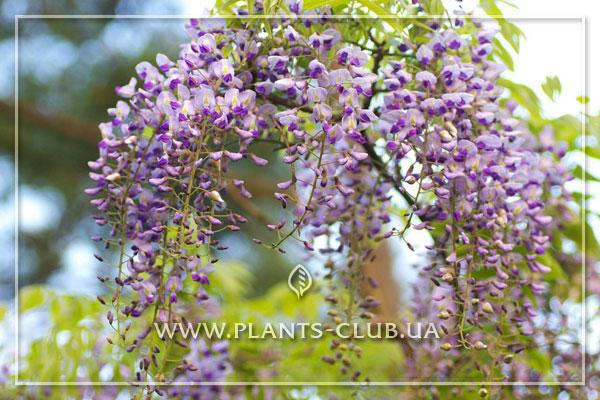 p-31706-wisteria-floribunda.jpg