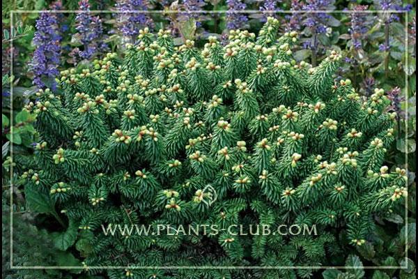 p-31710-abies-balsamea-piccolo.jpg