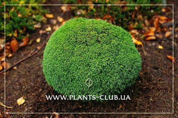 p-31851-chamaecyparis-lawsoniana-green-globe3.jpg