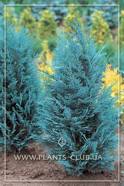 p-31893-chamaecyparis-lawsoniana-'van-pelts-blue'.jpg