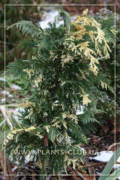 p-31924-chamaecyparis-nootkatensis-'variegata'.jpg