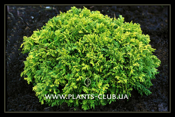 p-31956-chamaecyparis-pisifera-nana2.jpg