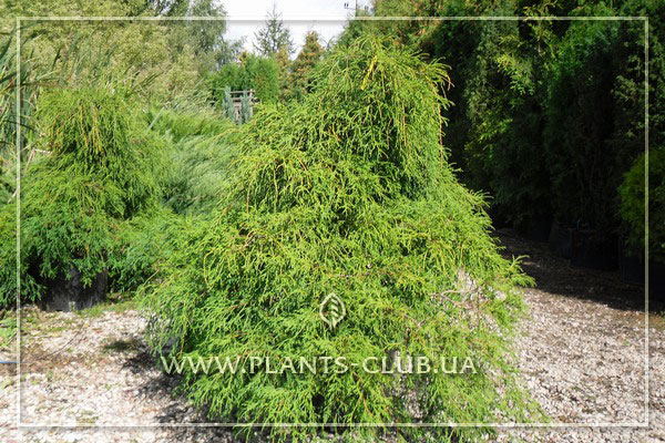 p-31979-chamaecyparis-pisifera-'filifera-nana'.jpg