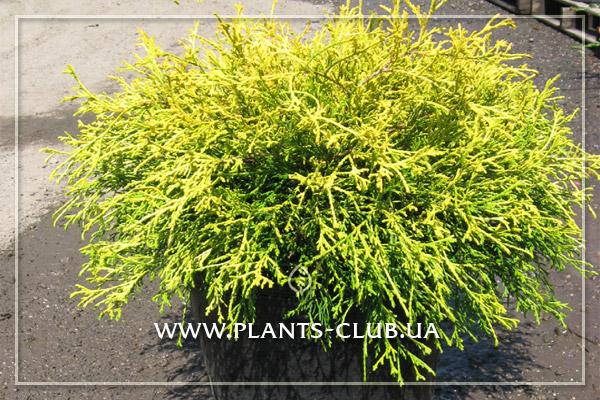 p-31993-chamaecyparis_pisifera_filifera_golden_mops.jpg