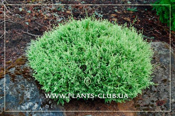 p-31999-chamaecyparis-pisifera-pygmy.jpg