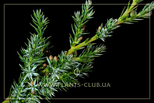 p-32019-juniperus-chinensis-'blue-a.jpg