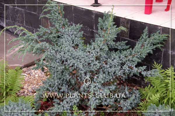 p-32019-juniperus-chinensis-'blue_a.jpg