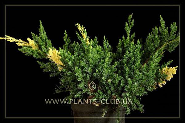 p-32039-juniperus-chinensis-'expans.jpg