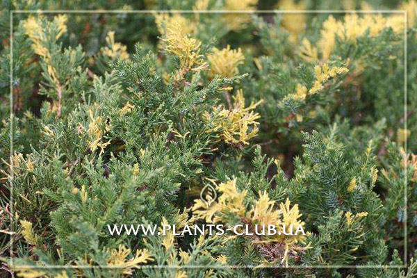 p-32075-juniperus-chinensis-variegata.jpg