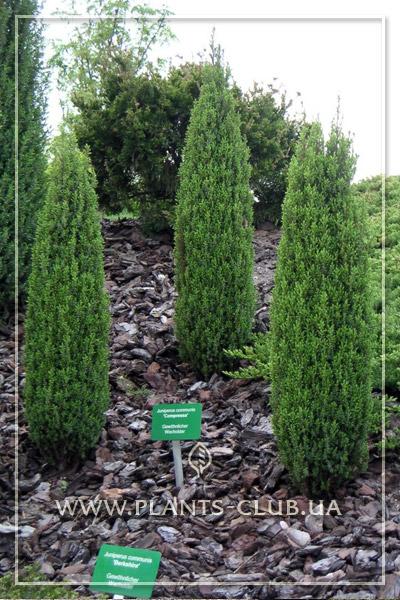 p-32082-juniperus-communis-compressa_3.jpg