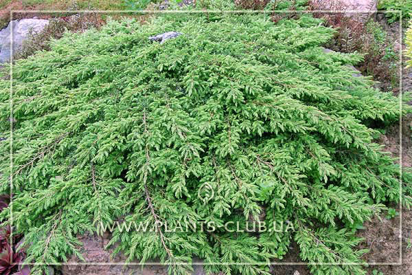 p-32096-juniperus-communis-green-carpet.jpg