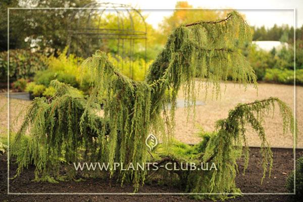 p-32102-juniperus-communis-'horstmann'1.jpg