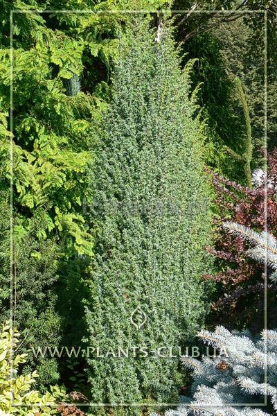p-32106-juniperus-communis-'meyer'-.jpg