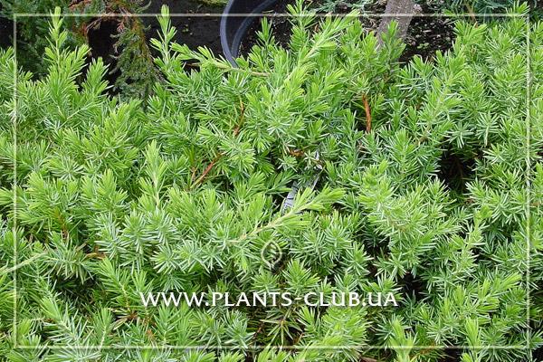 p-32120-juniperus_conferta_blue_pacific_3.jpg