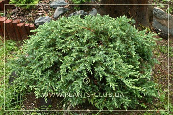p-32128-juniperus-conferta-'schlager'.jpg