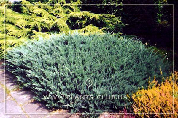 p-32138-juniperus-horizontalis-'agnes'.jpg