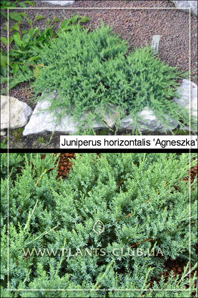 p-32143-juniperus-horizontalis-agnieszka.jpg