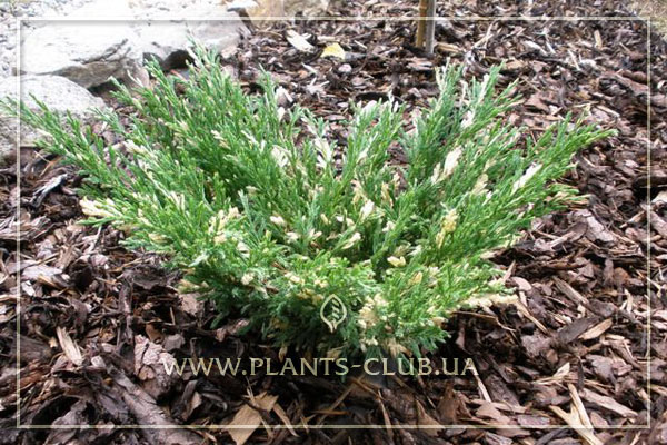 p-32165-juniperus-horizontalis-'andorra-compacta-variegata'8.jpg
