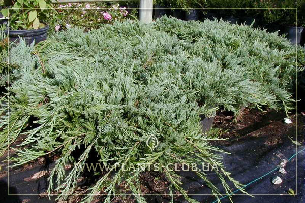 p-32175-juniperus-horizontalis-'bar-harbor'.jpg